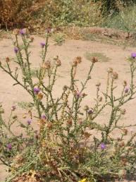 הקרקפת המרכזית נישאת על גבעול שאורכו 35-10 ס