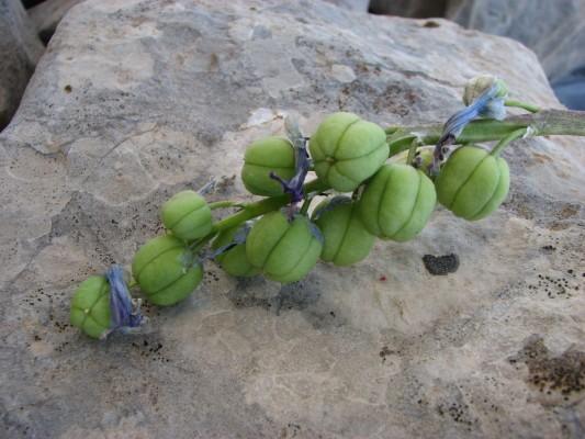 בן-חצב לבנוני Scilla libanotica Speta