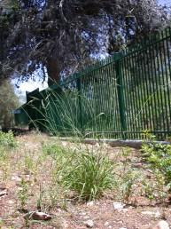 צמחים רב-שנתיים שגובהם 80-50 ס