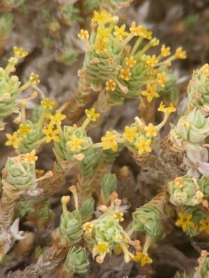 צלבית החוף Crucianella maritima L.