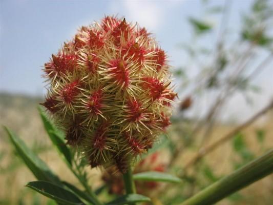 Glycyrrhiza echinata L.