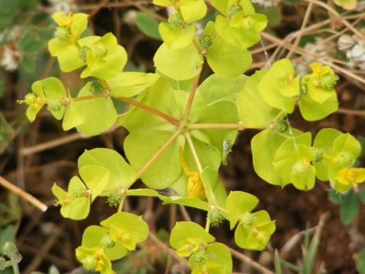 חלבלוב סמור Euphorbia valerianifolia Lam.