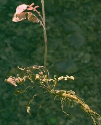 Crepis reuteriana Boiss.