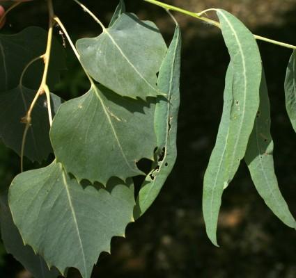 Populus euphratica Oliv.