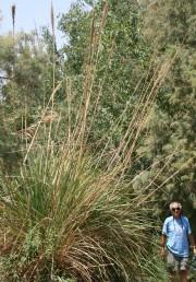 עשב רב-שנתי בגובה 3-2 מ'. עלי הבסיס ערוכים בשושנת ומביניהם יוצאות תפרחות גבוהות על קניהן עלים בודדים וקטנים.