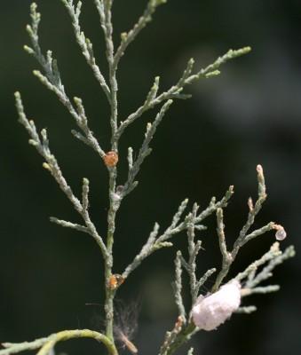 Tamarix nilotica (Ehrenb.) Bunge