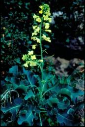 בן-שיח בעל עלים שעוותיים גלוניים ופרחים צהובים חוורים גדולים