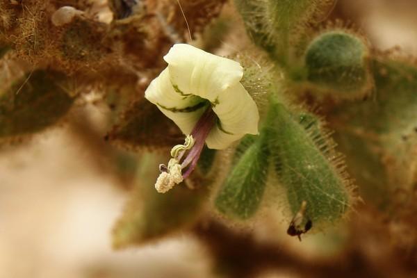 Hyoscyamus desertorum (Aschers. ex Boiss.) Taeckh.