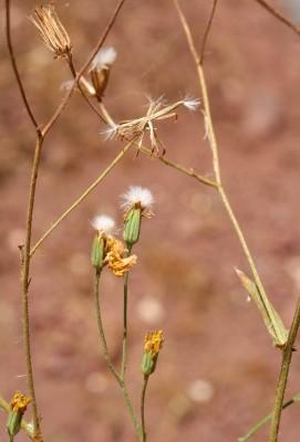 ניסנית ערבית Crepis senecioides Delile