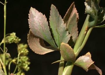 עשבים רב-שנתיים, העלים התחתונים תמימים או גזורים ל-3 אונות.
