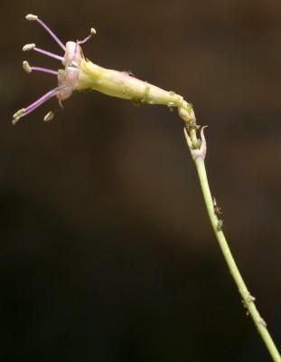 Silene libanotica Boiss.