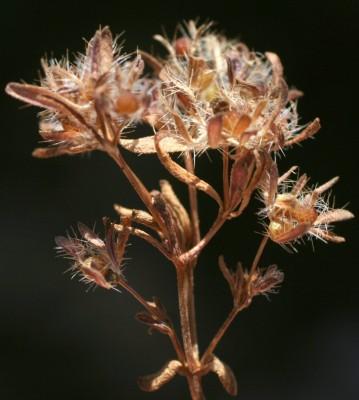 Asperula setosa Jaub. at Spach