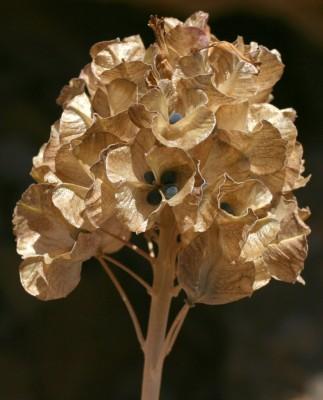 זמזומית החרמון Bellevalia hermonis Mouterde