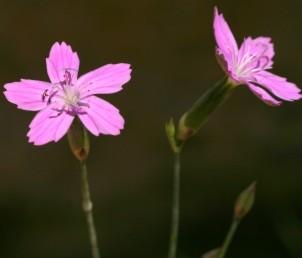 בבסיס הגביע 4 קשקשים. הפרחים בודדים או בקבוצות של 3-2.