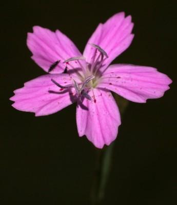 ציפורן קטן-פרחים Dianthus micranthus Boiss. & Heldr.