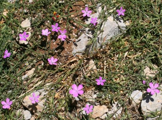 Dianthus micranthus Boiss. & Heldr.