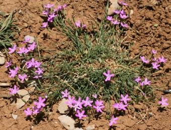 צמחי החרמון, גדלים בקרקעית של דולינות.