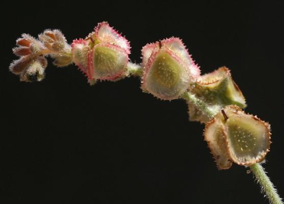 הילל חרמוני Paracaryum lithospermifolium (Lam.) Grande