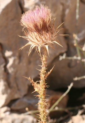 חוחן צמיר Onopordum floccosum Boiss.