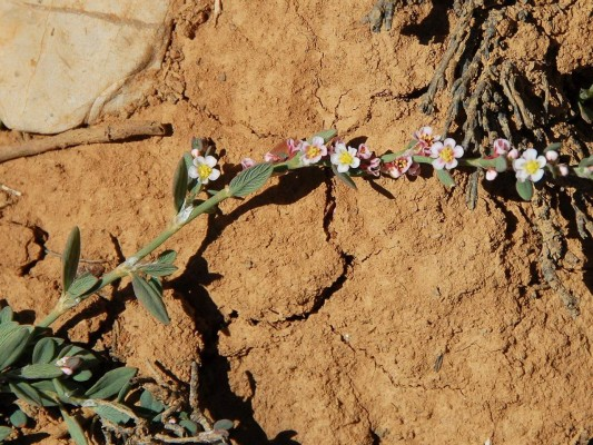 ארכובית הארזים Polygonum cedrorum Boiss. & Kotschy