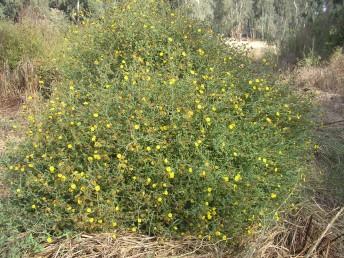 צמחים רב-שנתיים של בתי-גידול לחים, גובהם 120-60 ס