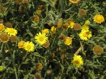 העלים בעלי שיניים קטנות או תמימים. פרחי ההיקף ארוכים פי 2 מהמעטפת.