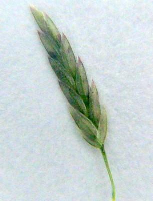 Eragrostis palmeri S.Wats.