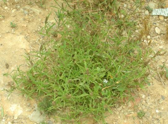 ירבוז מורגי Amaranthus muricatus Gillies ex Hicken.