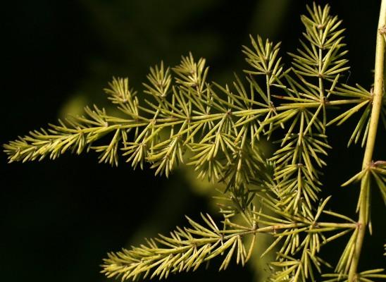 Asparagus setaceus Gessop