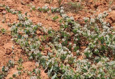 צמחים מטפסים או זוחלים בקרבת מים מתוקים. פרחים ורודים-בהירים.