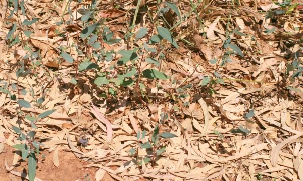איקליפטוס המקור Eucalyptus camaldulensis Dehn.
