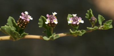 עשב רב-שנתי, זוחל. העלים נגדיים בעלי פטוטרת. הפרחים קטנים וערוכים בקרקפות חיקיות צפופות.