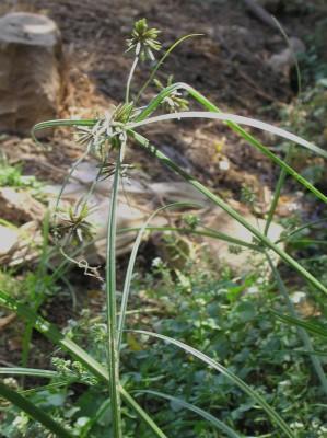 גומא קירח Cyperus glaber L.