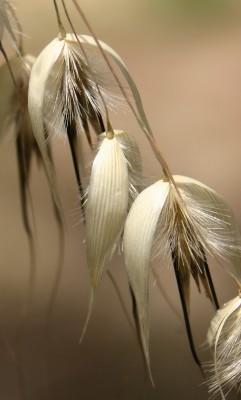 שיבולת-שועל נפוצה Avena sterilis L.