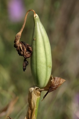 Iris atropurpurea Dinsm.
