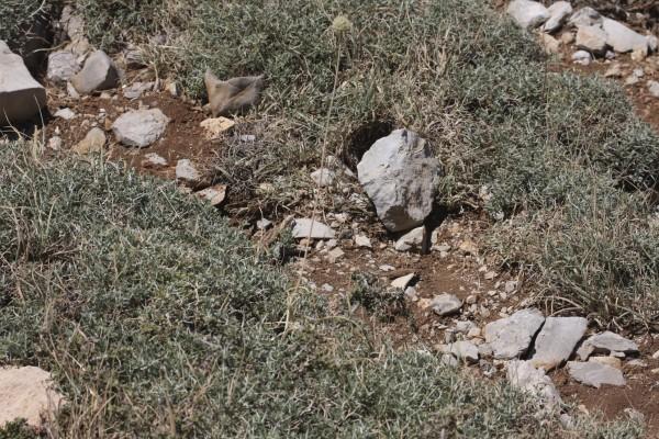 שום מחוספס Allium trachycoleum Wendelbo