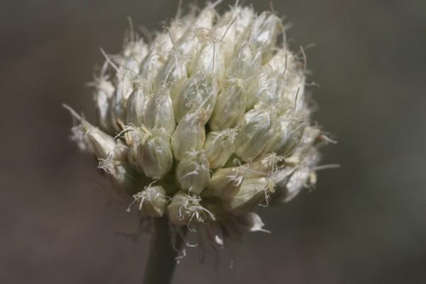Allium trachycoleum Wendelbo
