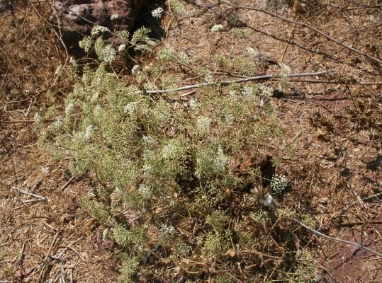 חרמשית השדות Falcaria vulgaris Bernh.