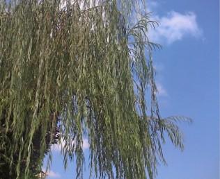 הענפים משולשלים כלפי מטה.