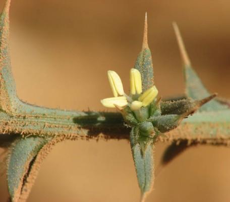 מלחית אשלגנית Salsola tragus L.