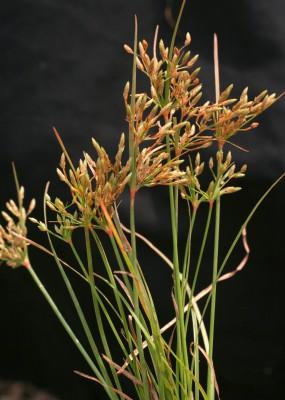 Fimbristylis bisumbellata (Forssk.) Bubani