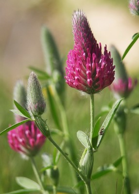 Trifolium purpureum Loisel.