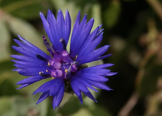 Centaurea cyanoides Berggren & Wahlenb.