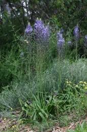 הפרחים כחולים, גובה עמוד התפרחת 150-80 ס