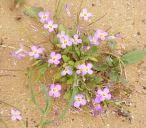צמחים הגדלים בחולות החוף.