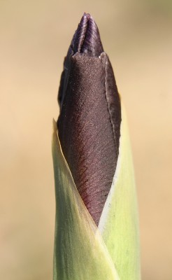 Iris petrana Dinsm.