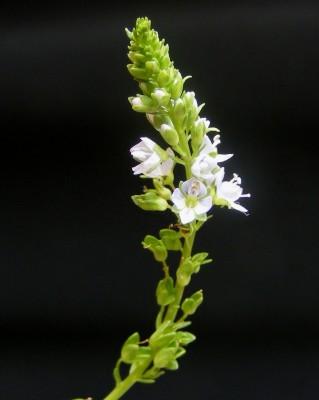 ורוניקת החולה Veronica lysimachioides Boiss.