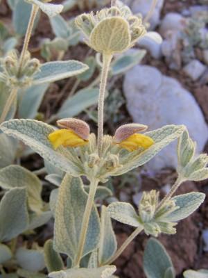Phlomis brevilabris Boiss.