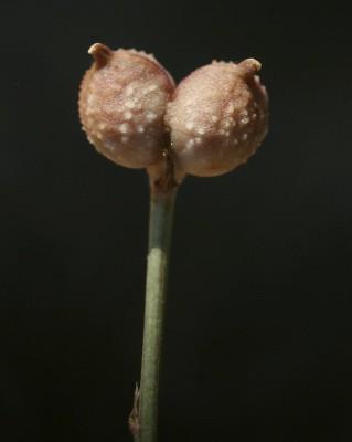קצח הציפורן Garidella unguicularis Poir.