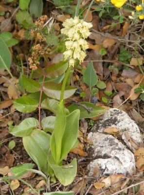 Orchis galilaea (Bornm. & M.Schulze) Schlechter